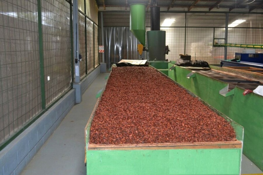 COCOA FARM IN PRODUCTION AND GROWING