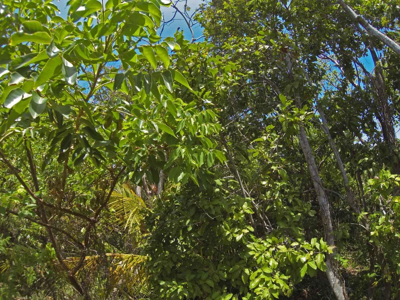 Remax real estate, Honduras, Utila, Great shape for 2 homes L5Flat green tree covered lot