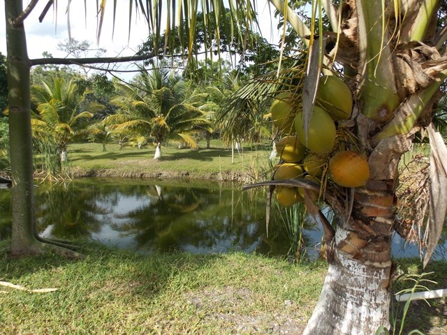 Remax real estate, Belize, Buena Vista, (#2296) - A 100 ACRE FARM WITH 6,000 INVESTMENT TREES.