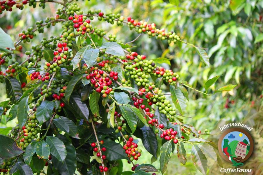 Remax real estate, Panama, Boquete, 2 Acres Of Cash Flowing Specialty Coffee Farmland In Boquete, Panama